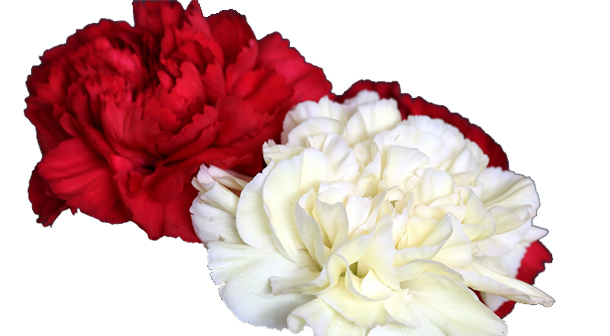 Red and White Carnation